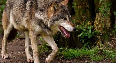 Több mint száz év után jelent meg farkas Belgiumban, de kilőtték