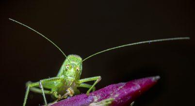 Csemegéző zöld szöcske
