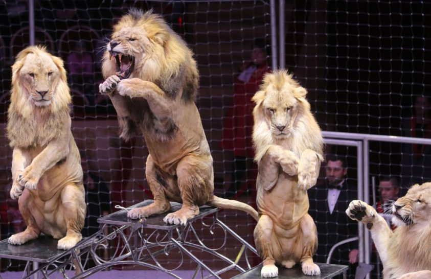A szlovákiai cirkuszokban nem lépnek föl vadállatok
