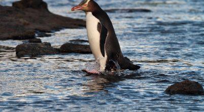 Pingvin lett a 2019-es év madara Új-Zélandon