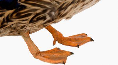 Kacsaláb hozhat fordulatot a dinoszauruszok evolúciókutatásában