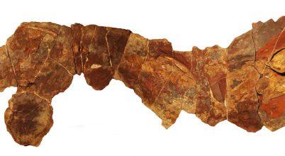 Angolnaszerű őscápa kövületeire bukkantak Marokkóban
