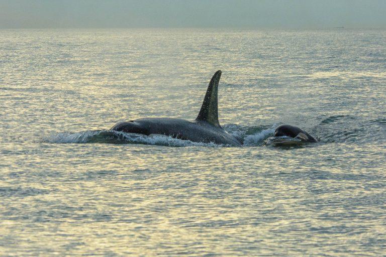 Drónfelvételeken figyelhetjük a kardszárnyú delfinek életét