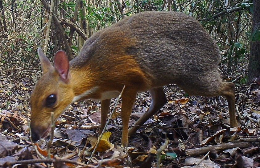 Újra feltűnt egy kipusztultnak vélt állat Vietnámban