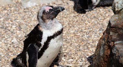Tojást raboltak egy holland állatkert azonos nemű pingvinjei