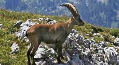 Harc az alpesi kőszáli kecskék védelméért