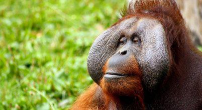Kiderült, hogy az orangutánok rokona volt egy óriási főemlős