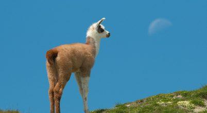 Lámák és kecskék tehetik termékennyé az elolvadt gleccserek helyét