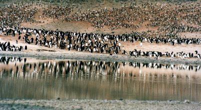 Miként reagáltak a pingvinek a jégkorszak végére?