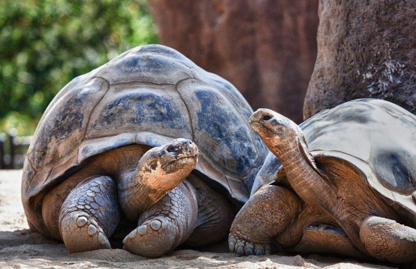 Az óriásteknősök gyorsan tanulnak, és lassan felejtenek