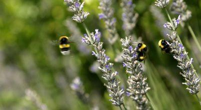 Az Európai Parlament a beporzó rovarok védelmében