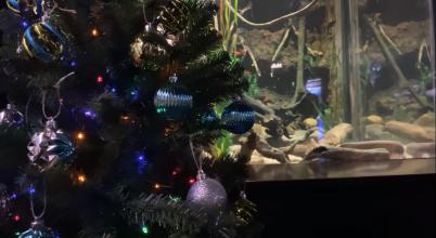 Ebben az Akváriumban elektromos angolnával világítják a karácsonyfát