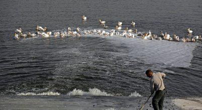 Vándorló pelikánok és haltenyésztők ellentétes érdekei