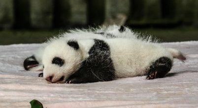 Miért olyan elképesztően aprók az újszülött óriáspandák?