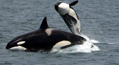 A kardszárnyú delfineknél is igen fontosak a nagymamák