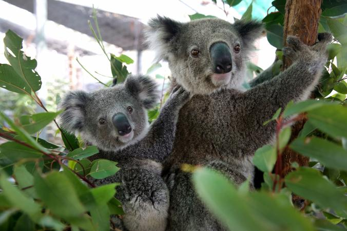 Nem, még nem jött el a koalák funkcionális kihalása