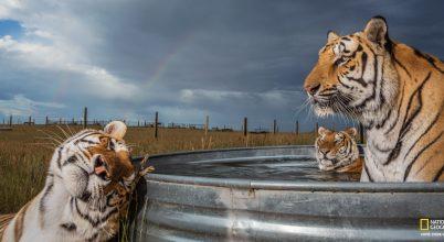 Tigrisek emberközelben