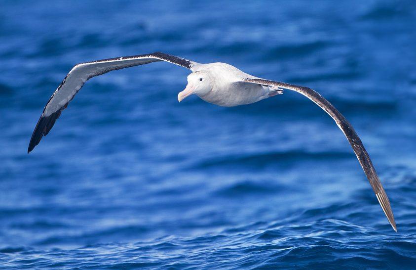 Óceáni őrjárat – albatroszok segítenek felderíteni az illegális halászatot
