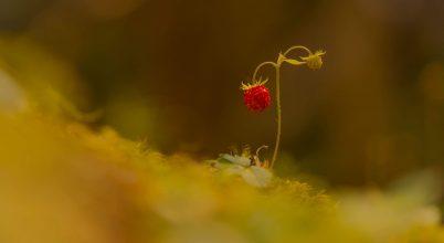 A nap képe: A szamóca