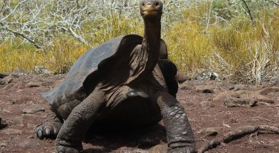 Rokonkeresésre indulnak Galápagos egyik szigetére