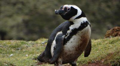 Eddig ismeretlen Magellán-pingvin kolóniát fedeztek fel