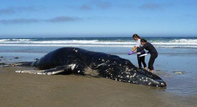 Hőhullámok, rákhalászat és a kaliforniai bálnák