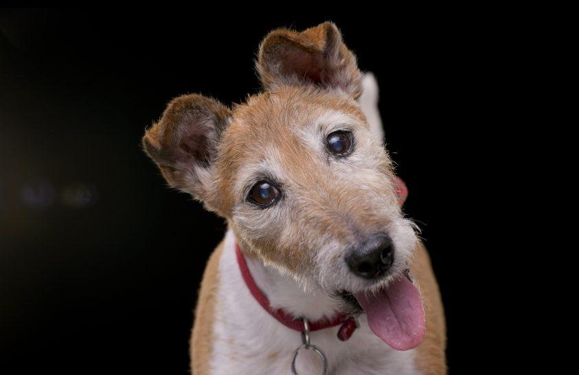 Az időskori szelektív hallás a kutyáknál