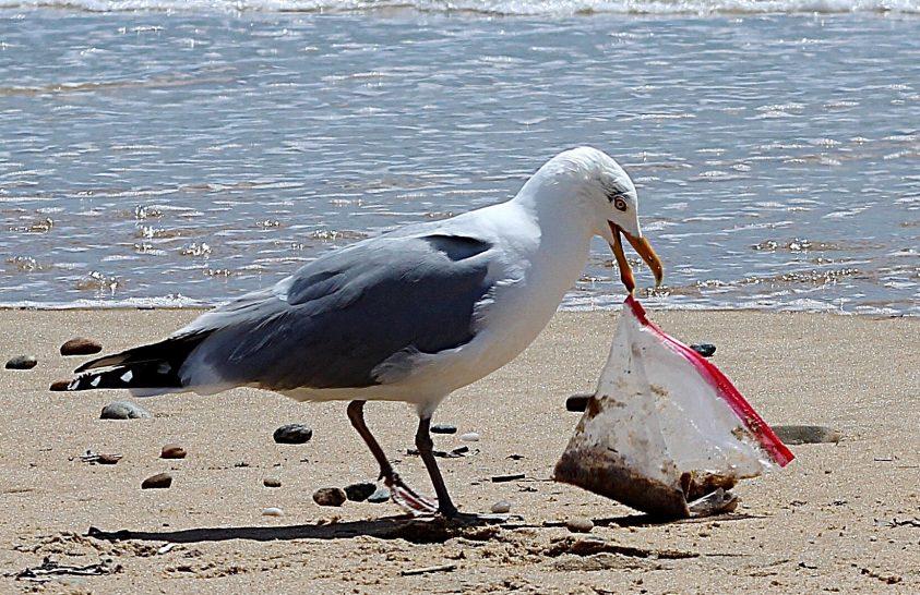 A műanyag rejtőzik a tengeri madarak testében