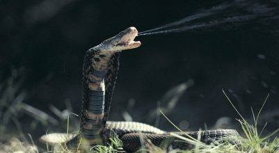Mérges és mérgező állatok – miben különböznek?