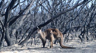 Óriási a veszteség az ausztráliai erdőtűzben