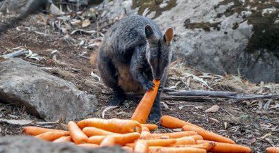 Élelmiszer-szállítmány az ausztráliai vadállatoknak