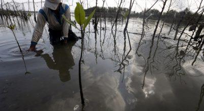 Mangrovefák ültetése Indonéziában