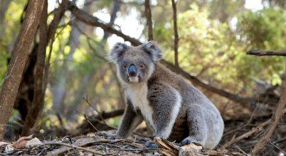 Milliónyi állat pusztul az ausztráliai bozóttüzekben