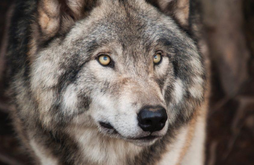 A farkasok is visszahozzák az eldobott labdát