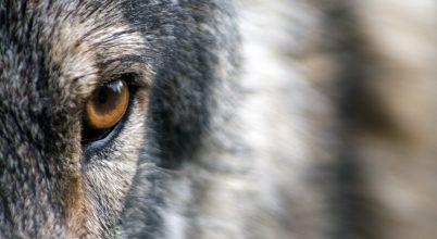 Hetvenöt év után tértek vissza a farkasok Coloradóba