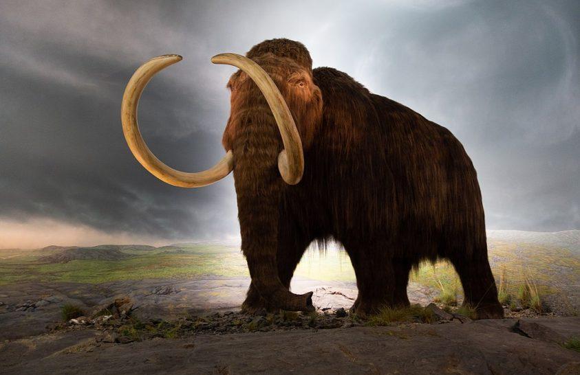Az utolsó mamutok génhibáit vizsgálták