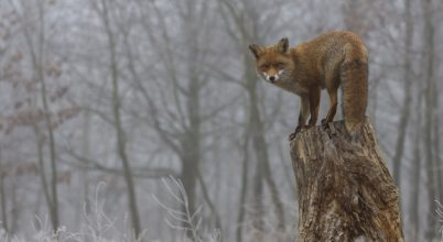 A nap képe: Most mi az, nem láttál még rókát fára mászni?