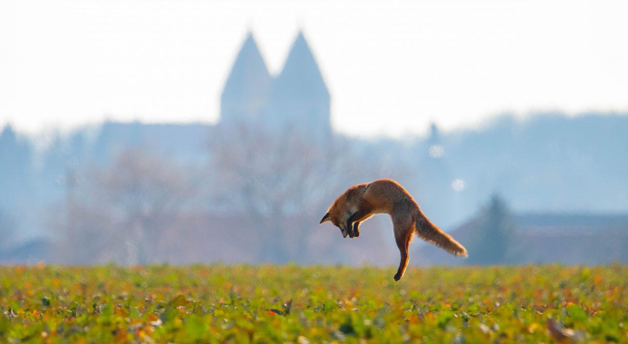 A nap képe: A jáki templom és a repülő róka