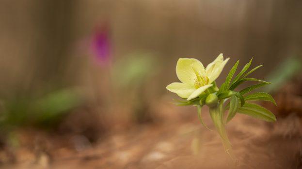 A nap képe: Kisvirágú hunyor