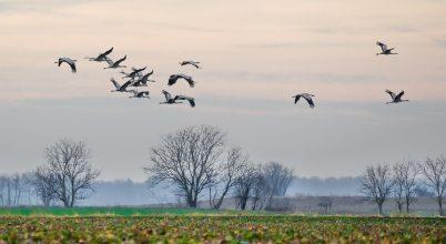 Darvak szállnak az Alföldön egy februári reggelen.