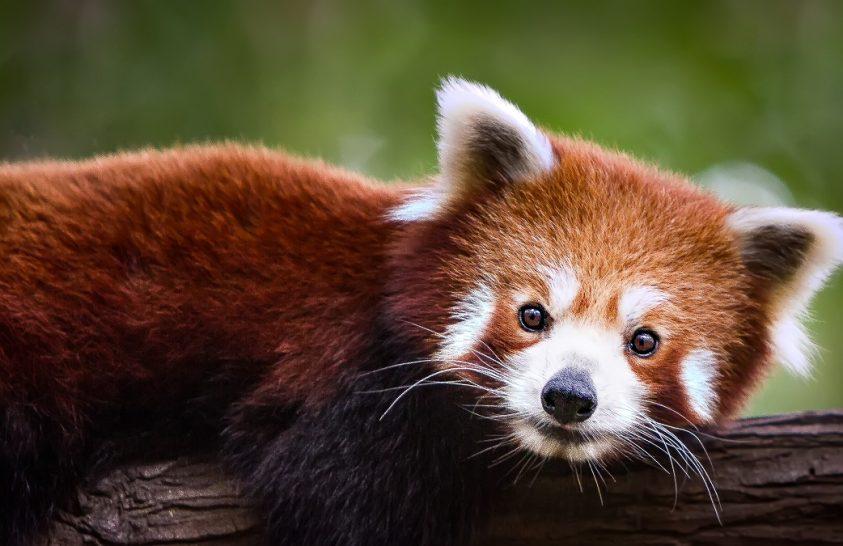 Genetikai bizonyíték: a vörös pandák populációja két fajt alkot