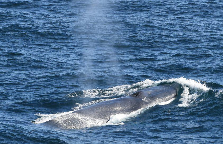 Kék bálnák az atlanti-óceáni Déli-Georgia szigetnél