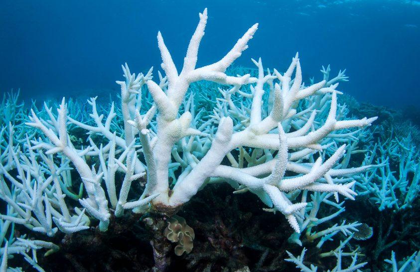 közös korallok