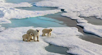 Medveösszeírás lesz Oroszországban