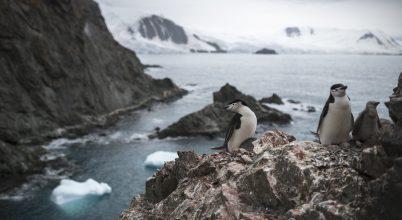 Gyors ütemben csökkent az állszíjas pingvinek száma az Antarktiszon