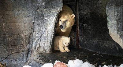 Jegesmedvék napja