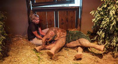 Orvvadászok csapdájából mentett elefántborjú