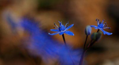 Nyílnak a ligeti csillagvirágok