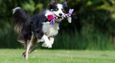 Egy különösen okos kutyát vizsgáltak az ELTE etológusai