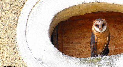 Költőláda segíti a baglyok életét Veszprém megyében